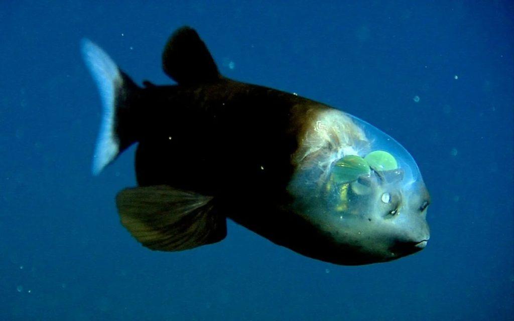 Макропинна: Фантастическая рыба. Фокус с разоблачением