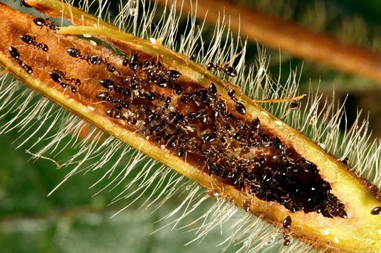 Хитроумные муравьи, готовящие революцию в биосфере
