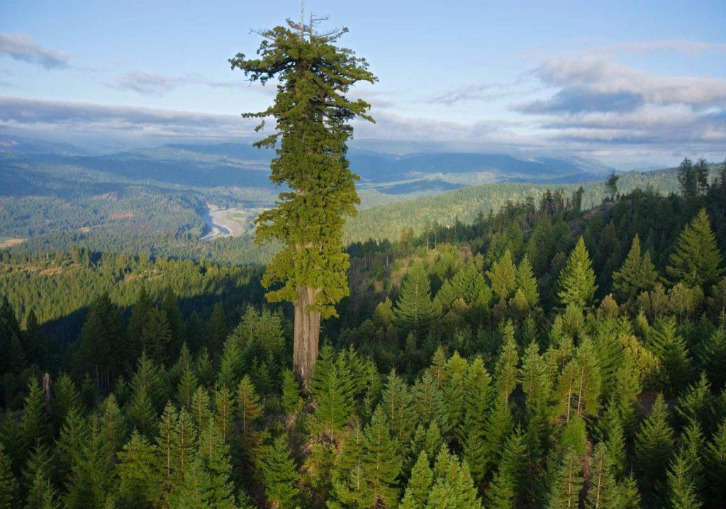 Секвойя: Чем ограничен размер растений