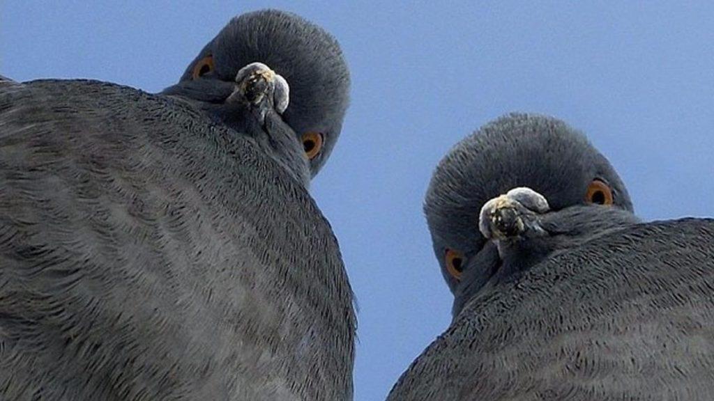 Злые голуби